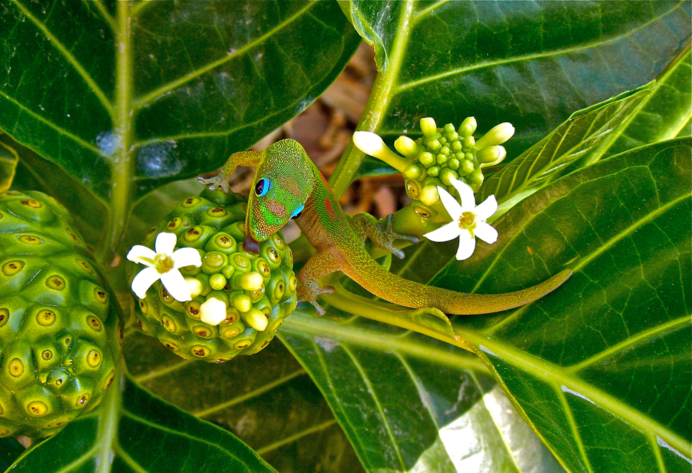 Noni Nectar For Green Gecko