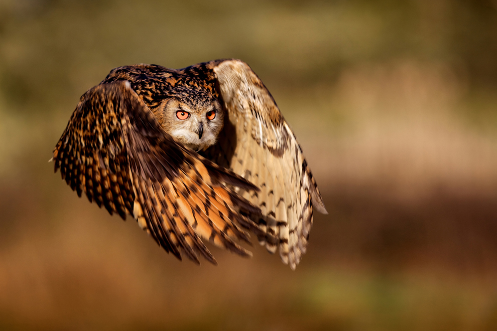 Flight of an Eagle Owl